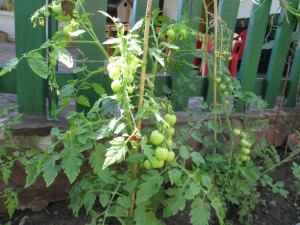 Children planted cherry tomatoes and looked after them to help them grow big